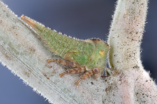 Acacia Horned Treehopper nymph