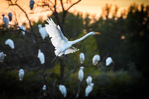 canoneos5dmarkiv ef100400mmf4556lisiiusm bird egret whiteegret snowyegret greategret poseyville wetlands midland mi michigan sunset evening flight backlit flying