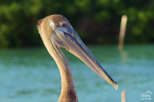 Caye Caulker Belize - brown pelican