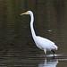 IMG_3317 Great White Egret