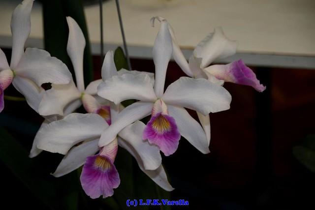 Laelia purpurata var russeliana - cultivo Helio Tessmer