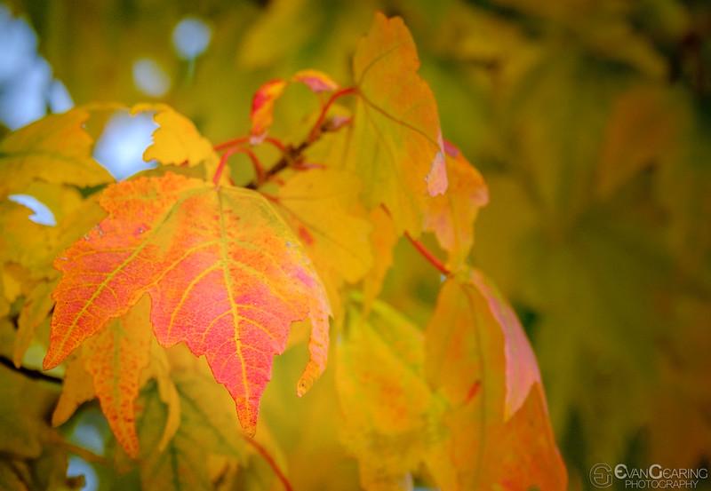 FallFoliage3