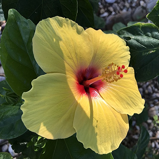 Yellow Hibiscus with shiny red center and shadow
