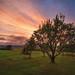 Apple Tree in Evening