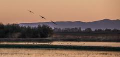 Three-Gliding-Sandhill-Cranes