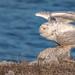 Snowy Owl (Bubo scandiacus) by ER Post