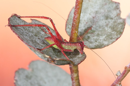 Katydid nymph