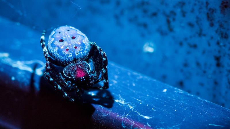 Garden Spider - UV Photography