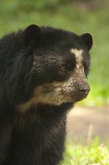 Tremarctos ornatus - Spectacled bear