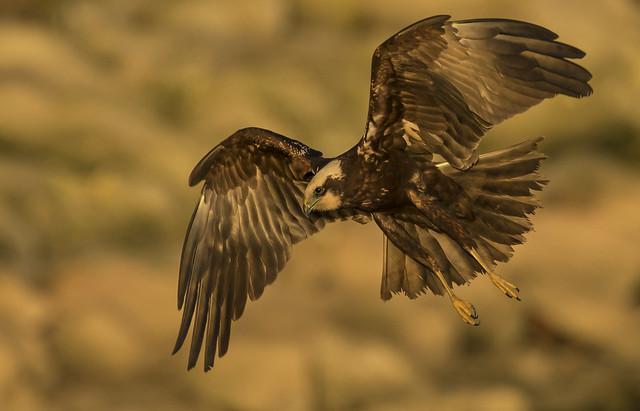 Marsh Harrier - The lady is a killer