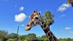 Giraffe - Busch Gardens