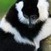 Black and white lemur 2