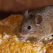 House Mouse (Mus domesticus) - Pest Solutions - Pest Prevention