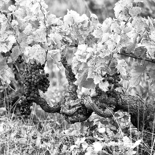 Old Vines | by OneEighteen
