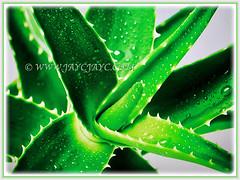 Mesmerising leaves of Aloe vera (Chinese/Indian Aloe, True Aloe, Barbados Aloe, Burn/Medicinal Aloe, First Aid Plant) with serrated margins, 2 Nov 2017