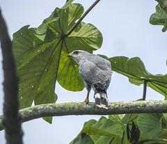 Grey-lined Hawk (Buteo nitidus)