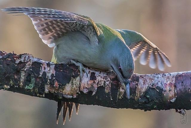 Grey-faced Woodpecker (nominate)-1162-Edit