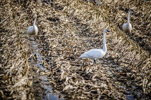 Skagit Valley Birds-18