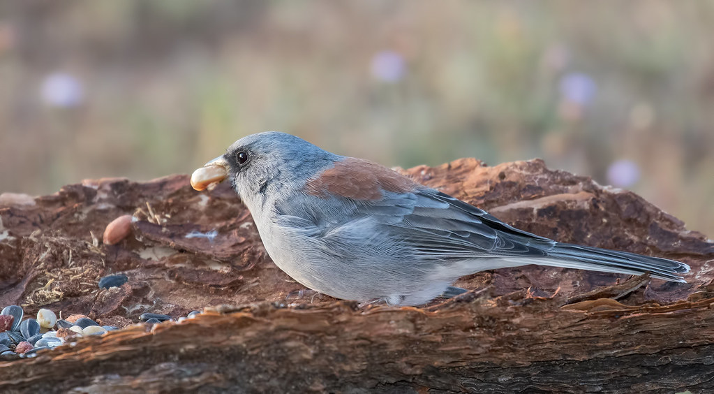 Dark-eyed-Junco(Red-back)29-7D2-091417