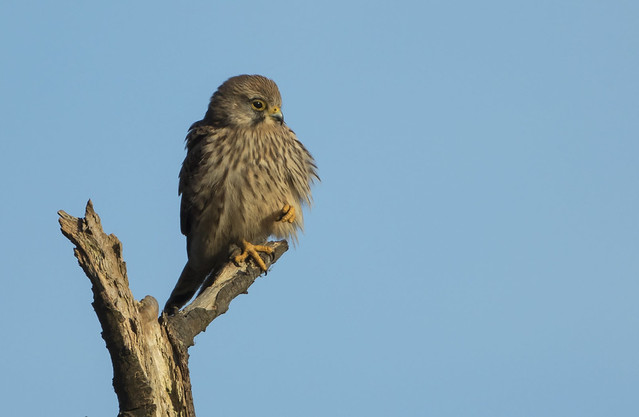 Kestrel - The cutest raptor?