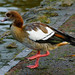 Egyptian goose: strutting at the shore
