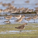 Bar-tailed Godwit 43
