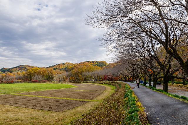 冬枯れの桜並木@巾着田