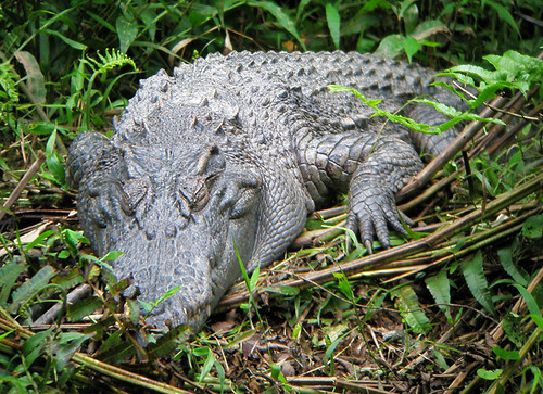 A sleeping Crocodile at Khao Yai Park in Thailand