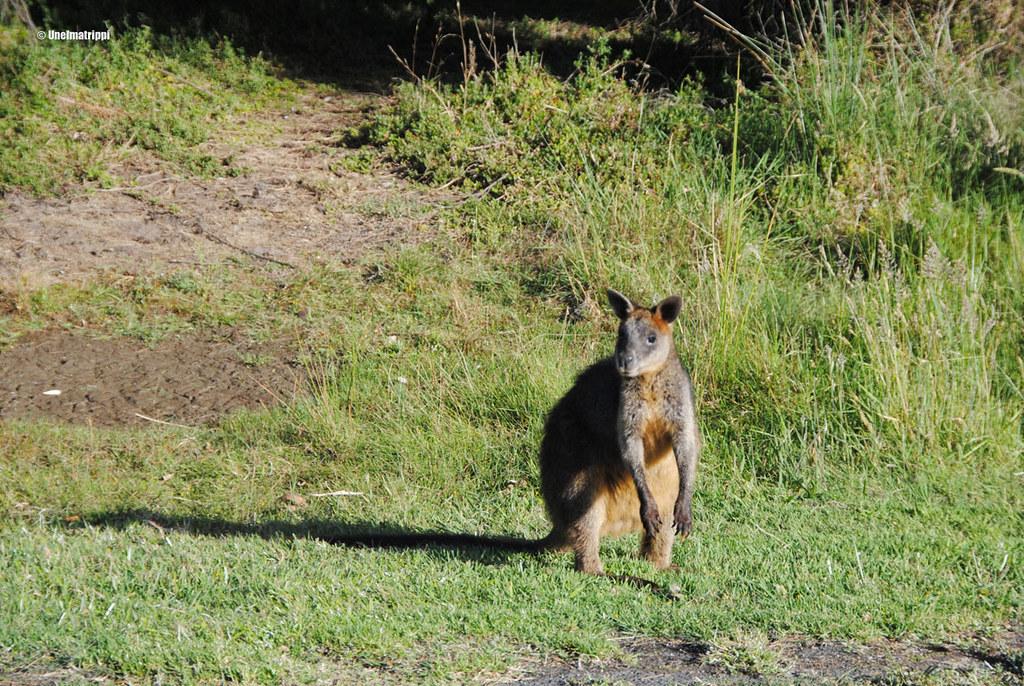 Kenguru, Australia