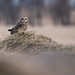Short Eared Owl by NicoleW0000