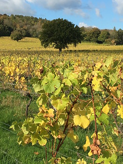 Autumn tints on vines