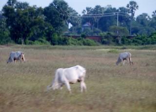 Blurred Cattle :)