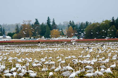 Migrating Snow Geese-20