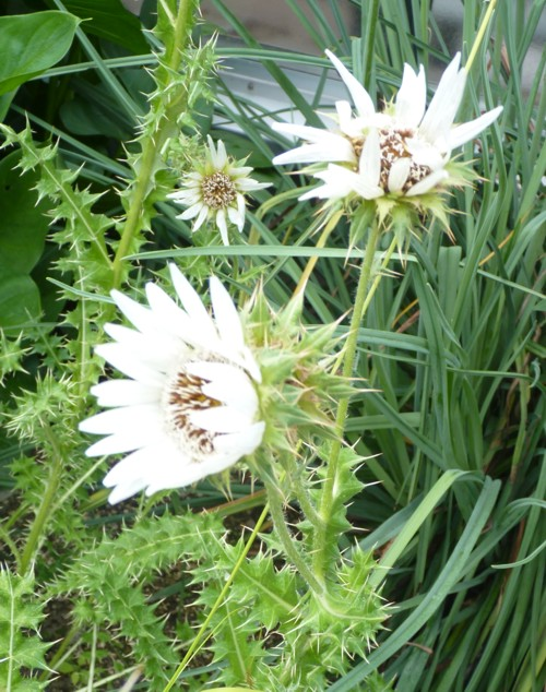 Berkheya cirsiifolia 24387619978_7361257810_o