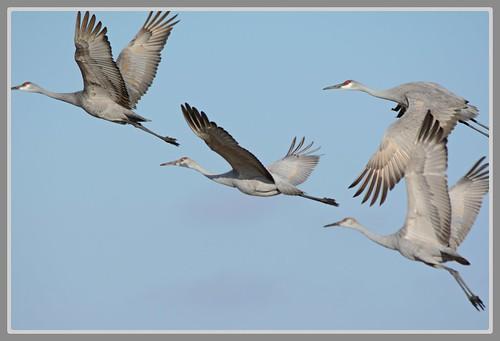 ~^~ Sandhill Cranes Aerial - I. ~^~