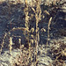 Small photo of Dead pigweed. Amaranthus retroflexus. Villa Rees