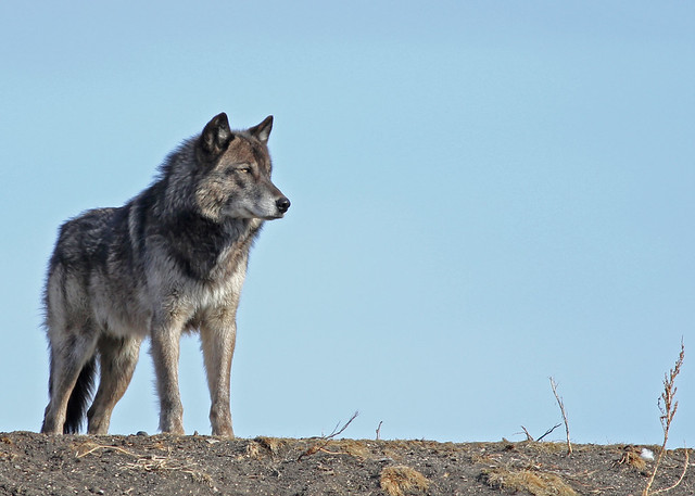 Timber Wolf...#2