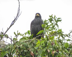 Common Black Hawk (Buteogallus anthracinus)