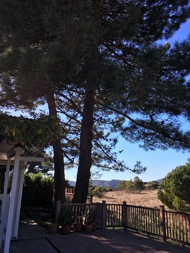 Allepo pines, Monterey pines, root damage IMG_5884