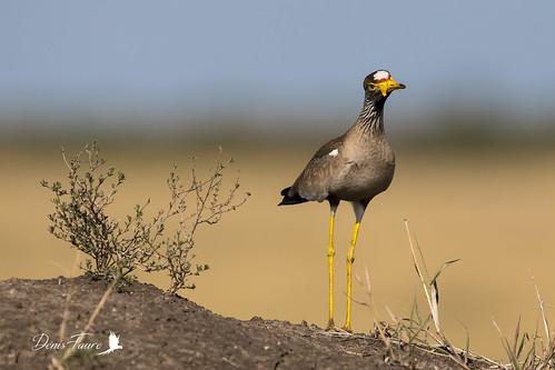 mps masaimara oiseau vanneaudesenegal narokcounty kenya ke