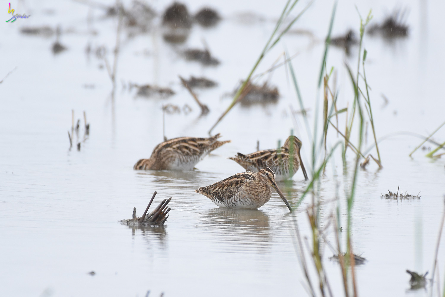Common_Snipe_9309