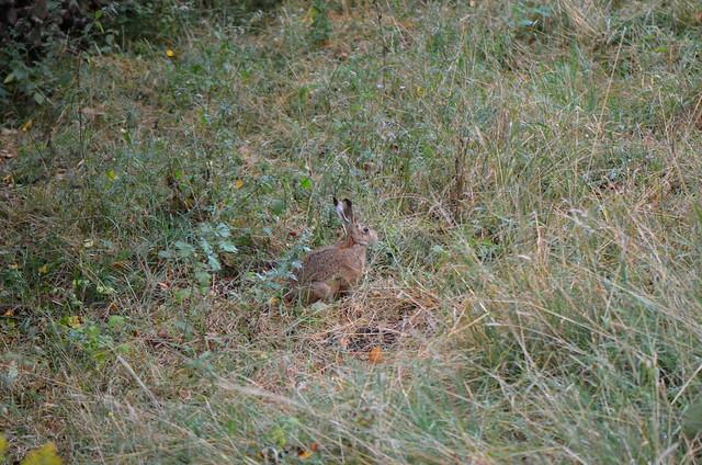 Shy hare