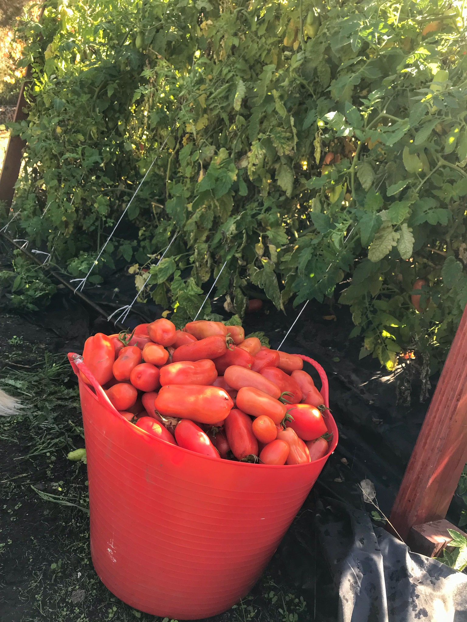 Another bucket of tomatoes