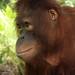Orangutan of the Month: Jalin
