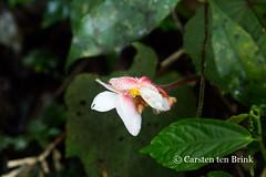 Sumatra orchid