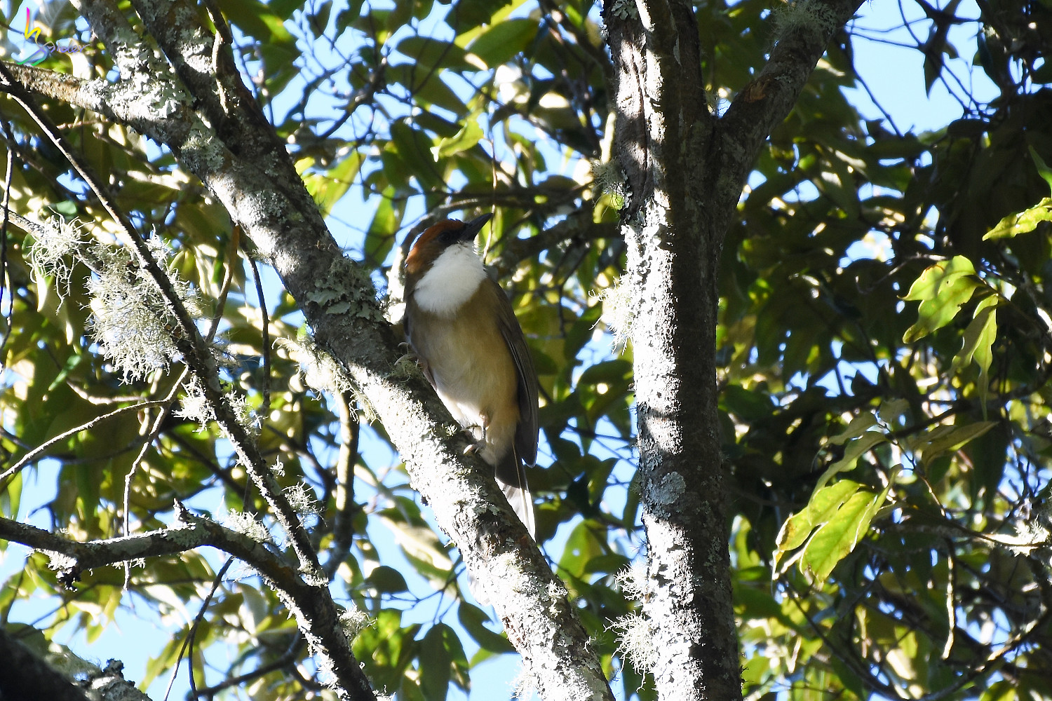 Rufous-crowned_Laughingthrush_5600