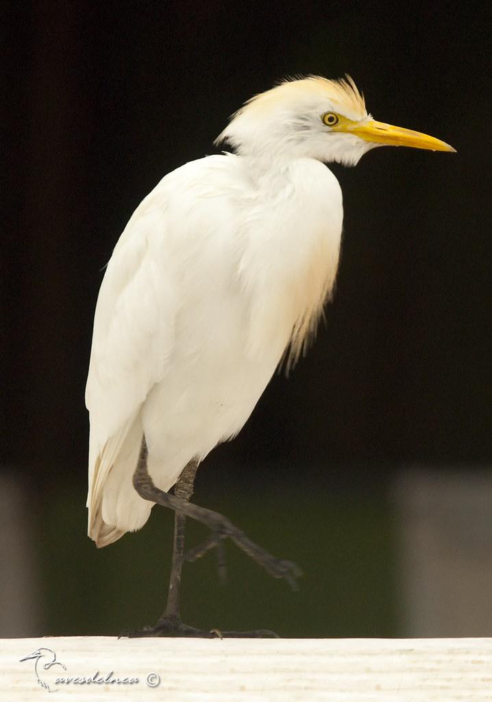 Garcita bueyera (Cattle Egret) Bubulcus ibis