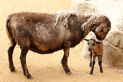 Cameroon Sheep and Lamb