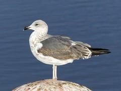 Juvenile Great Black -Backed Gull P1500251