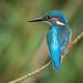 kingfisher 2 09 EJC #